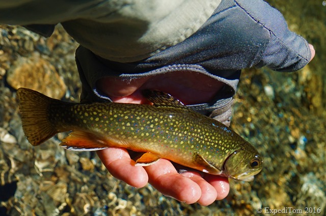 Gorgeous little brookie caught while fly fishing the Swiss Alps