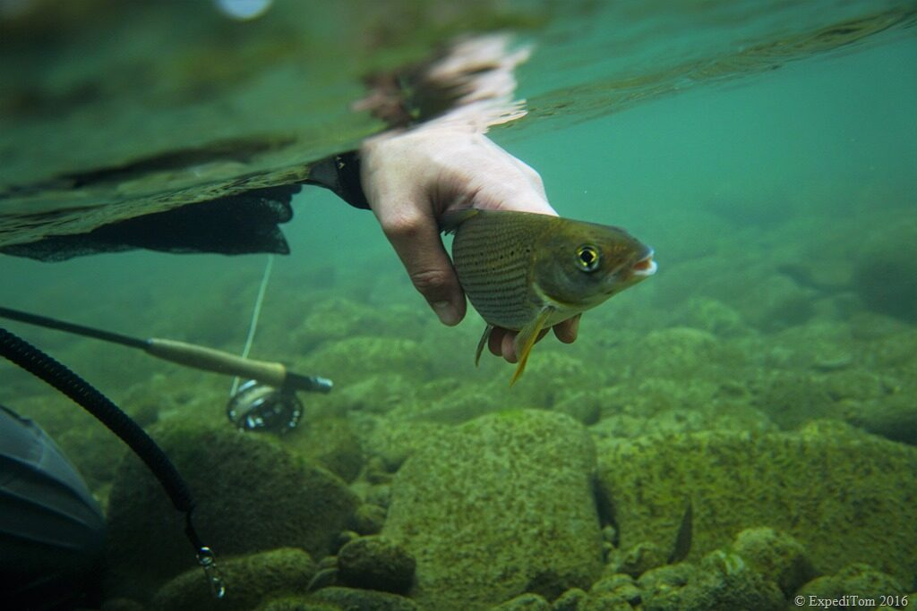 Releasing a small Grayling in Switzerland