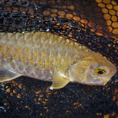 A small Mahseer but a big fighter