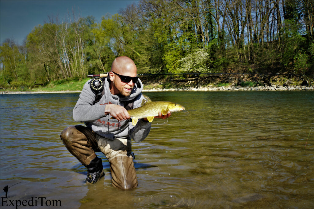 The golden Barbel from the Aare river in Switzerland
