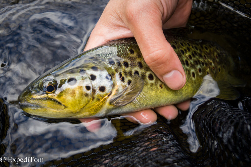 Gorgeous brown trout from the Långan river, Jämtland Sweden