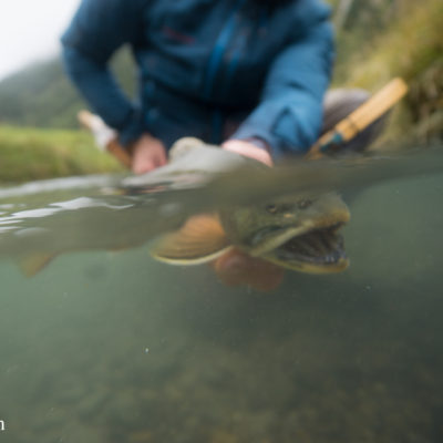Release of the arctic char