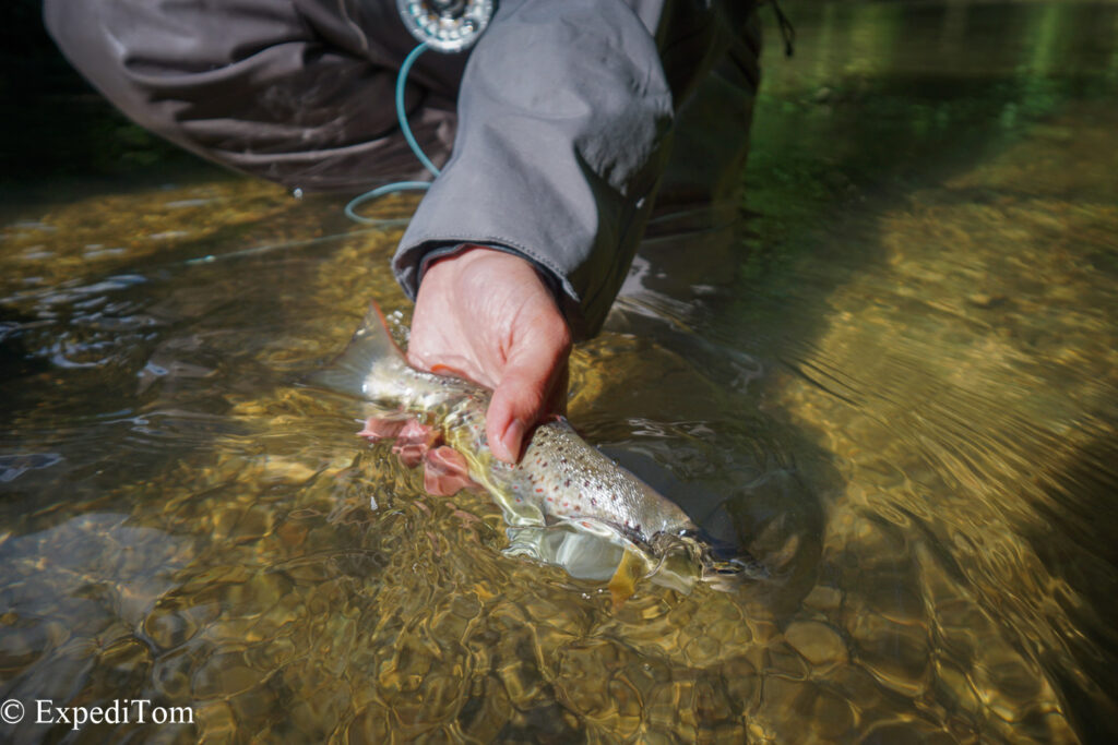 Trout caught fly fishing guiding in Switzerland in a small mountain creek